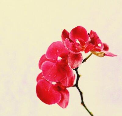 Fototapeta Piękne kwitnienie storczyków na jasnym tle