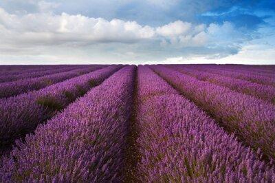 Fototapeta Piękne Lawendowe pole krajobraz z dramatycznego niebo