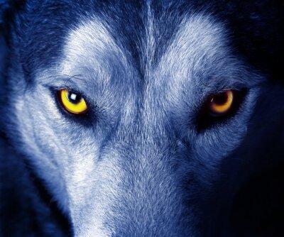 Fototapeta piękne oczy dzikiego wilka.