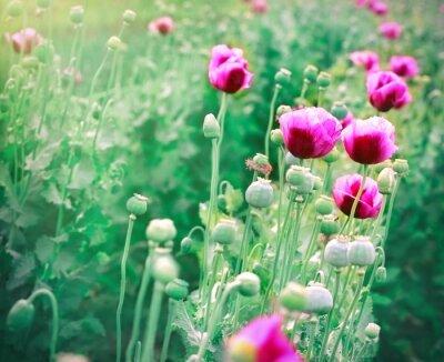 Fototapeta Piękne purpurowe kwiaty maku