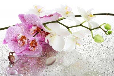 Fototapeta piękne różowe i białe storczyki z kropli