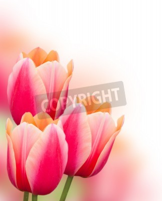 Fototapeta Piękne różowe tulipany granicy, na białym tle