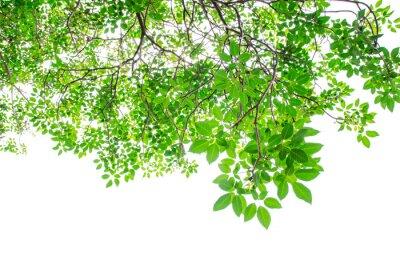Fototapeta Piękne zielone liście na białym tle