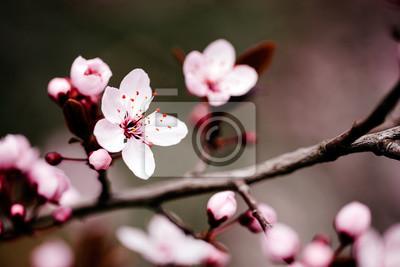 Fototapeta Piękny czereśniowy okwitnięcie w Kwietnia przy wiosną