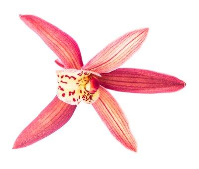 Fototapeta Piękny czerwony kwiat orchidei Cymbidium bliska, odizolowane na białym