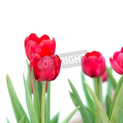 Fototapeta Piękny czerwony tulipan kwiat, na białym tle.