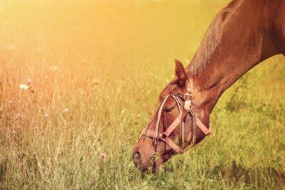 Fototapeta Piękny koń na letnie pastwiska