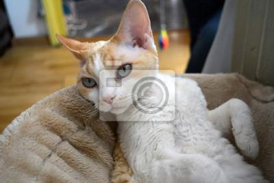 Fototapeta Piękny Kot Devon Rex Na Wymiar Elegancki Zwierzęcy
