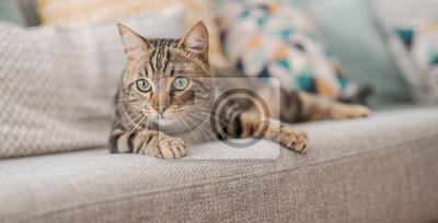 Fototapeta Piękny kot z krótkimi włosami, leżąc na kanapie w domu