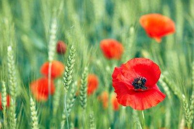 Fototapeta Piękny kwiat maku w polu pszenicy