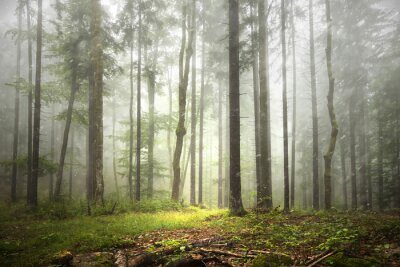 Fototapeta Piękny Las mglisty krajobraz z opadami deszczu.