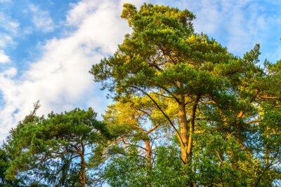Fototapeta Piękny las sosnowy