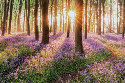 Fototapeta Piękny lasu bluebell las w wiośnie. Purpurowi i różowi kwiaty pod drzewnymi canopys z wschodem słońca przy świtem