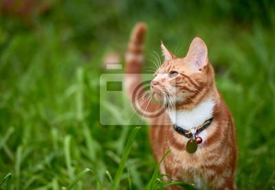 Fototapeta Piękny młody imbirowy czerwony tabby kot patrzeje pokój w łaty długiej zielonej trawie