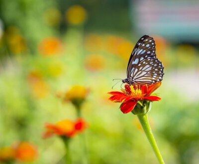 Fototapeta Piękny motyl na kwiat w przyrodzie