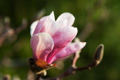 Fototapeta piękny pojedynczy kwiat magnolii z bliska
