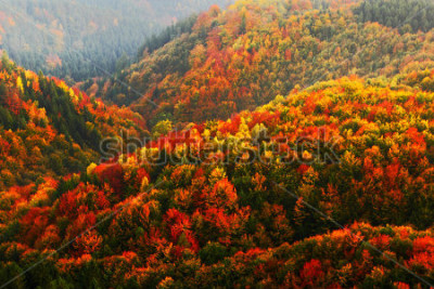 Fototapeta Piękny pomarańczowy i czerwony jesień las, wiele drzewa na pomarańczowych wzgórzach, park narodowy Czeska Szwajcaria, republika czech.