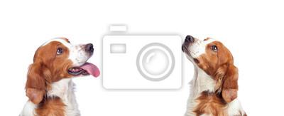 Fototapeta Piękny portret dwa psów przyglądających up