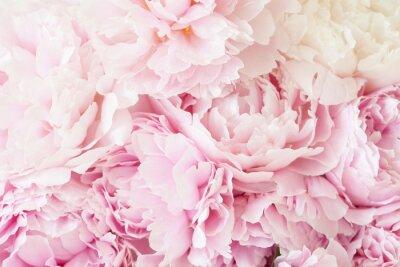 Fototapeta piękny różowy piwonia kwiat tło