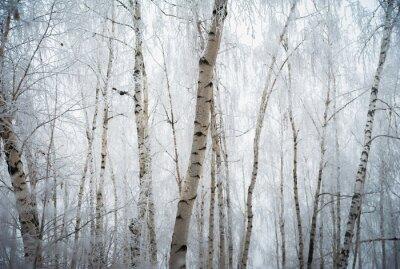 Fototapeta Piękny zimowy las pokryty śniegiem, Saratov, Rosja. Jodła, brzozy na śniegu, gałęzie drzew i mrozu.
