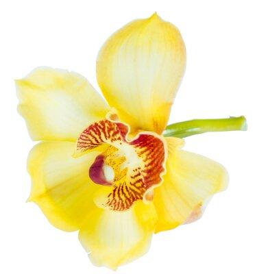 Fototapeta Piękny żółty kwiat orchidei Cymbidium bliska, samodzielnie na białym tle