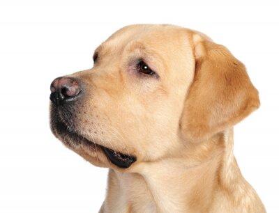 Fototapeta Pies Labrador w studiu