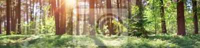 Fototapeta pine and fir forest panorama