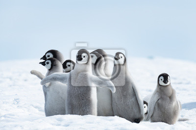 Fototapeta Pingwiny cesarza pingwiny