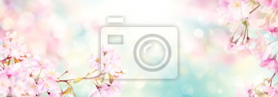 Fototapeta Pink cherry tree blossom flowers blooming in springtime against a natural sunny blurred garden banner background of blue, yellow and white bokeh.