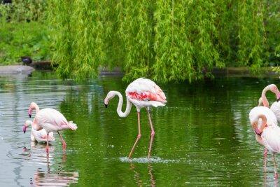 Fototapeta Pink flamingos