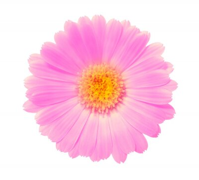 pink flower on a white