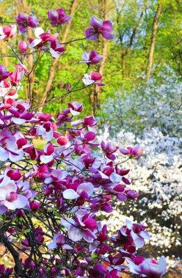 Fototapeta pink magnolia drzewa