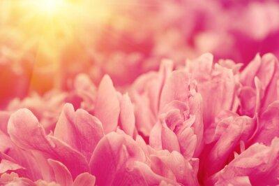 Pink peony flower petal background