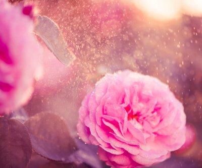 Fototapeta pink rose at colorful rainy background