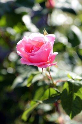 Fototapeta Pink rose prostu wyrósł maja