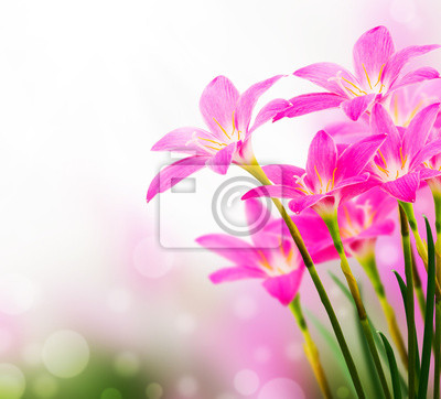 pink zephyranthes flower , bokeh