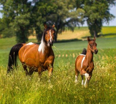 Fototapeta Pintabian klacz colt narodzinach w wysokiej trawie