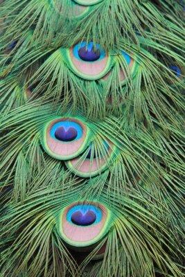 Fototapeta pióropusz de paon tekstury