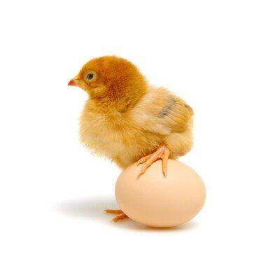 pisklę i jajko na białym tle