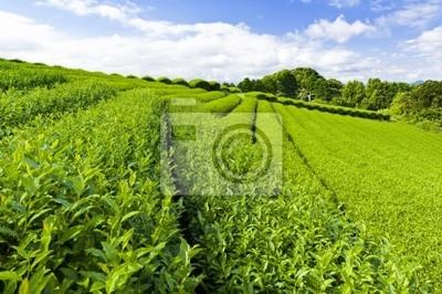 Fototapeta plantacji herbaty