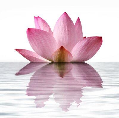 Fototapeta Pływający Lotus
