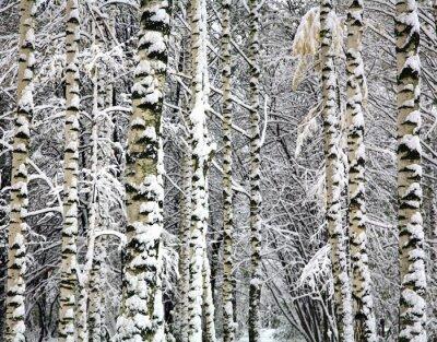 Fototapeta pni brzozy Zima