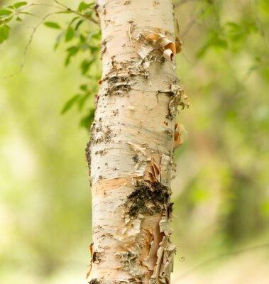 Fototapeta pnia brzozy dzikiej natury