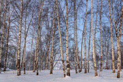Fototapeta Pnie Brzozowy gaj śnieg