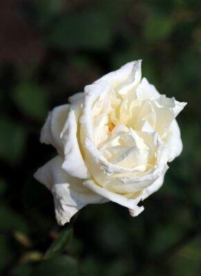 Fototapeta pojedyncze białe róże na wiosnę