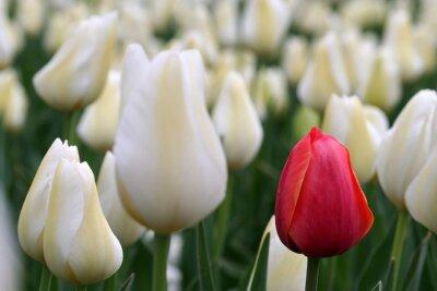 Fototapeta Pojedyncze czerwony tulipan w polu białych tulipanów