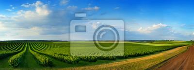 Fototapeta pola i rzędy porzeczek krzak sadzonki jako kompozycja tła