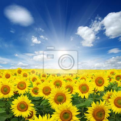 Fototapeta pola słoneczników