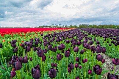 Fototapeta Pola tulipanów