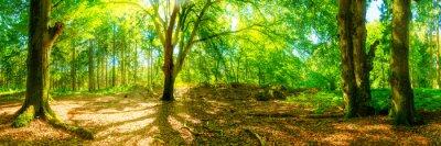 Fototapeta Polanie w lesie, z dużych drzew w jasnym słońcu Schei
